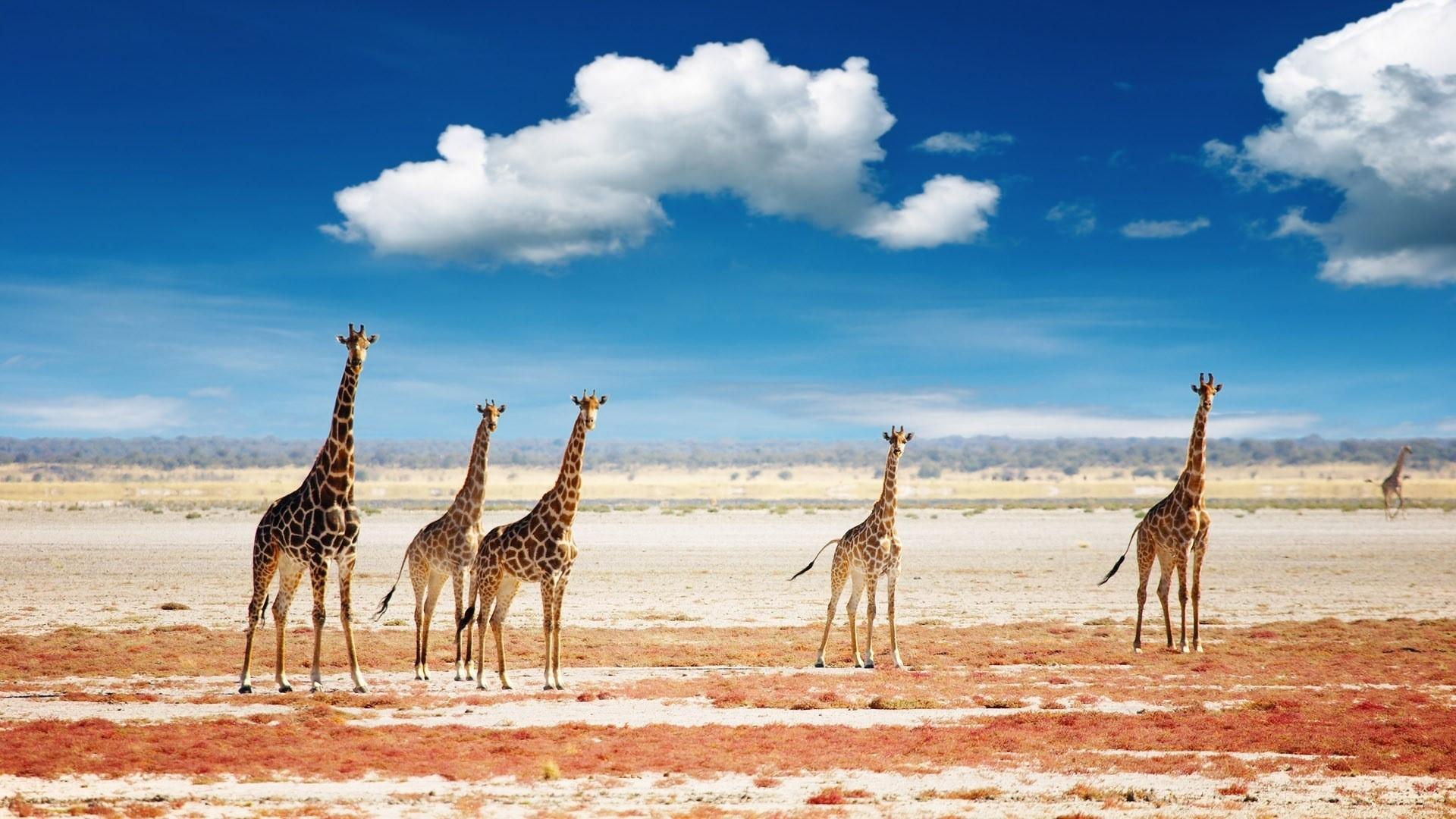Giraffe Background