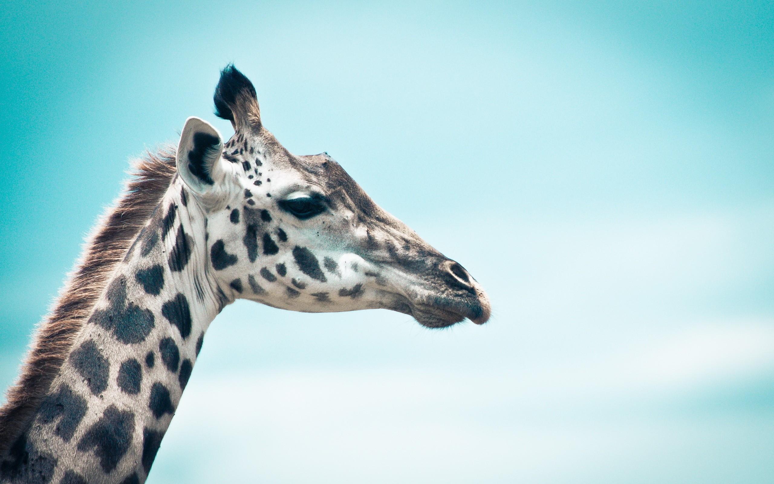 Giraffe Desktop Wallpapers