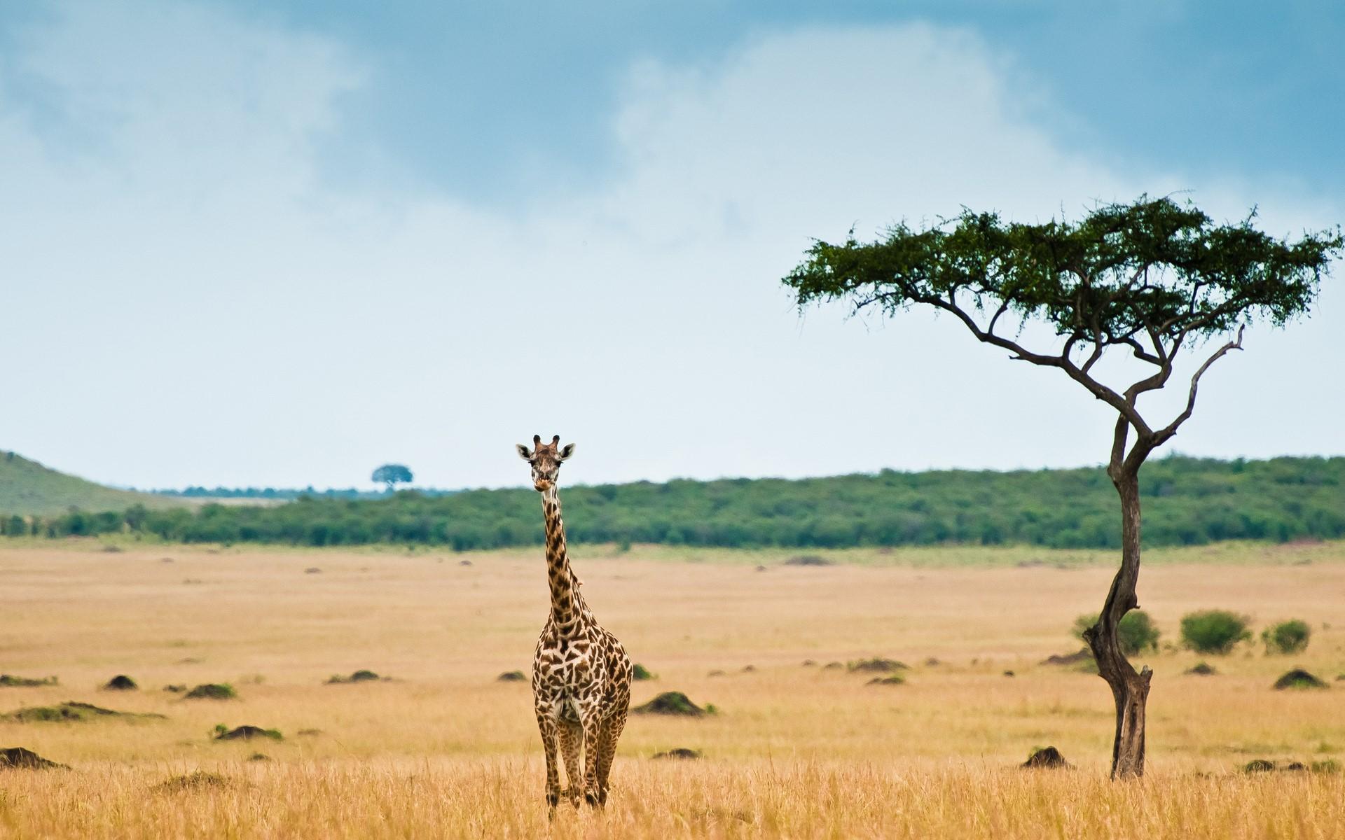 Giraffe HQ