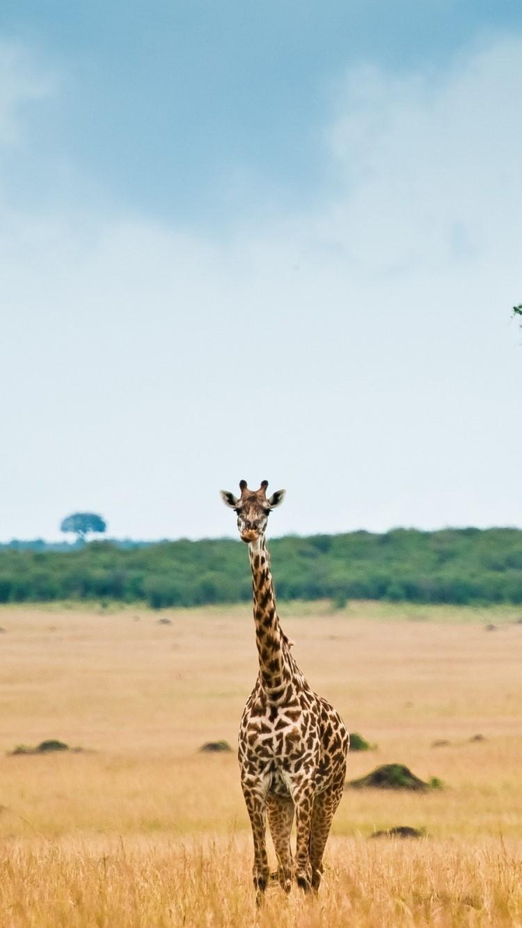 Giraffe Mobile Wallpapers 2