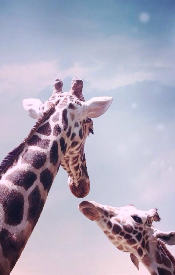 Giraffe Mobile Wallpapers 3