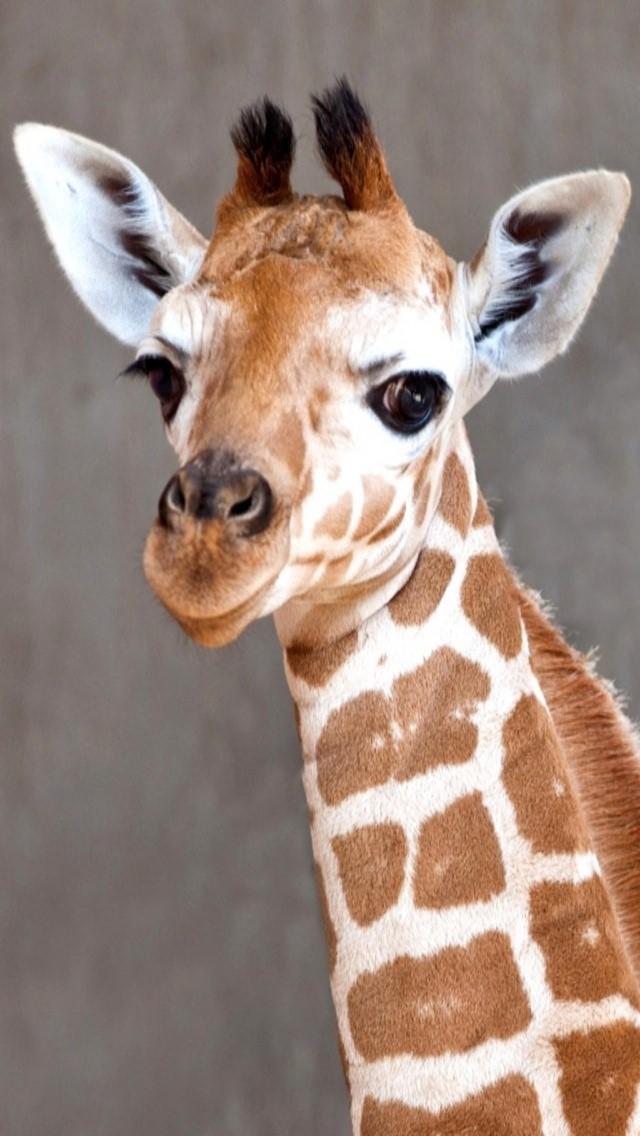 Giraffe Mobile Wallpapers
