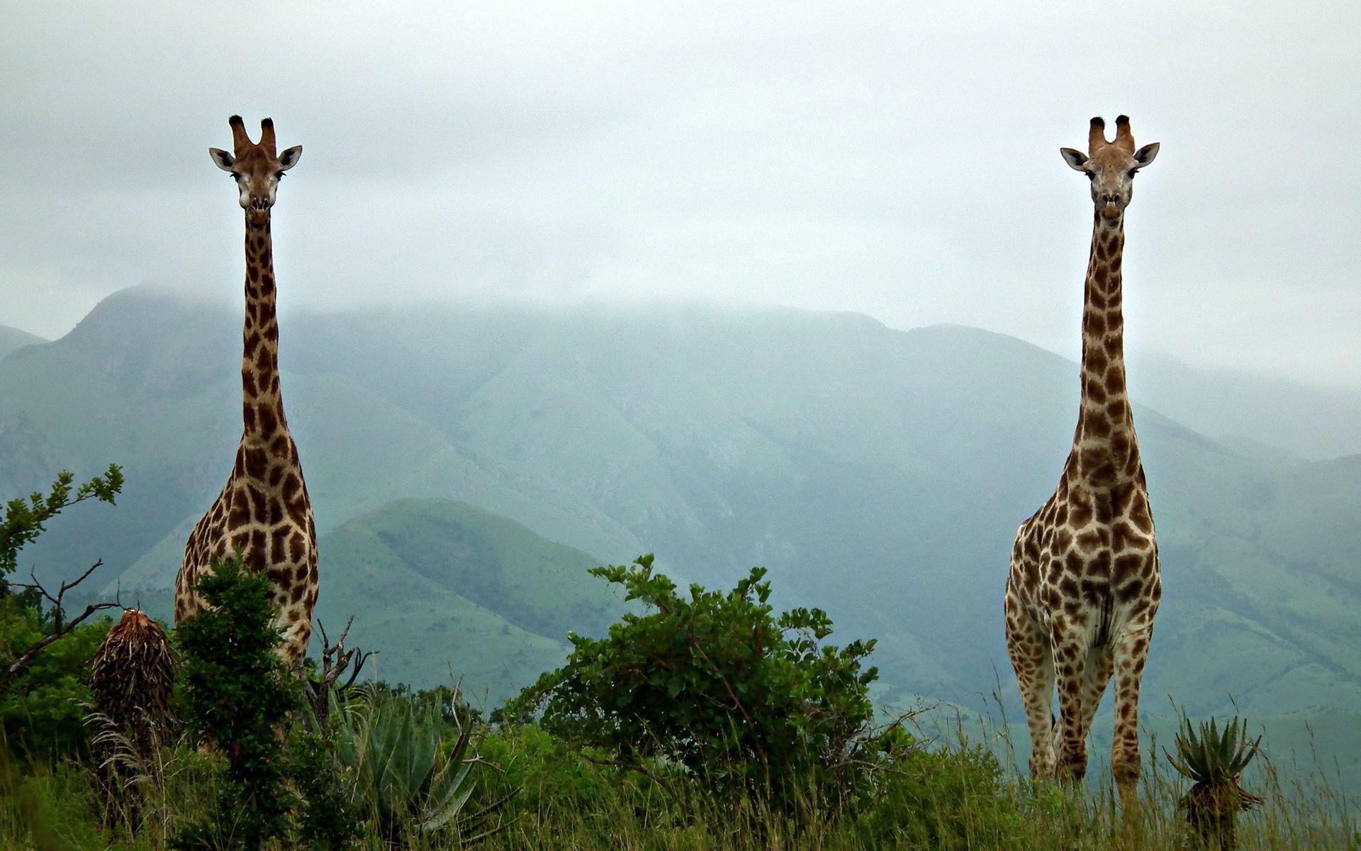 Giraffe Wallpapers 2