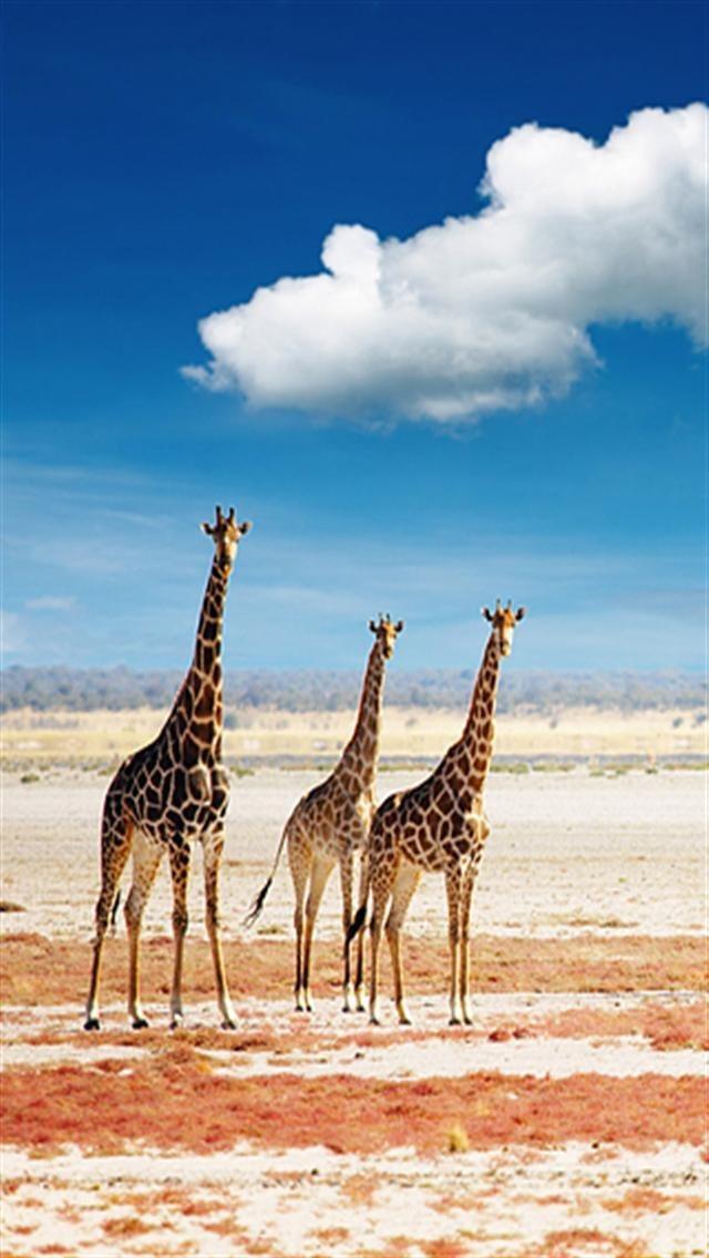 Giraffe Wallpapers for Phone