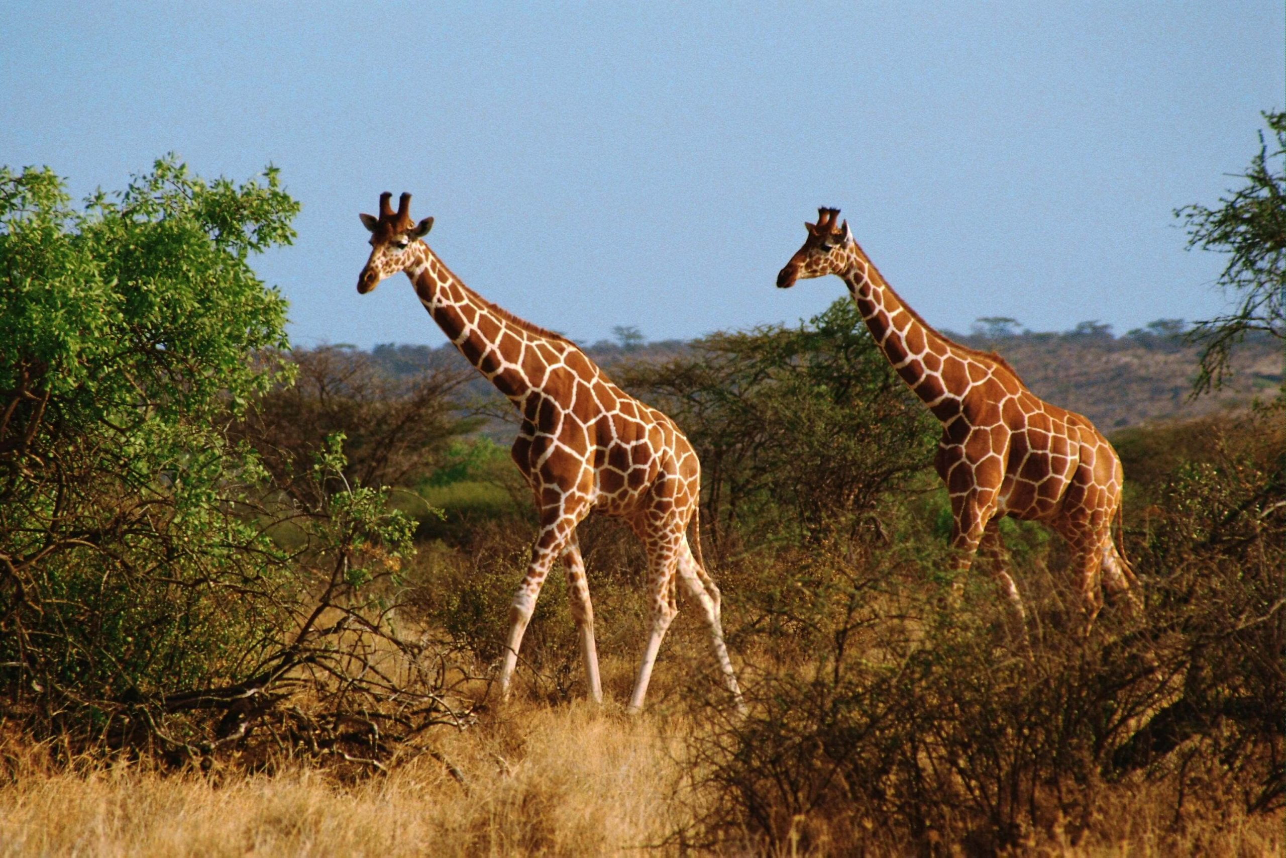 Giraffe images scaled
