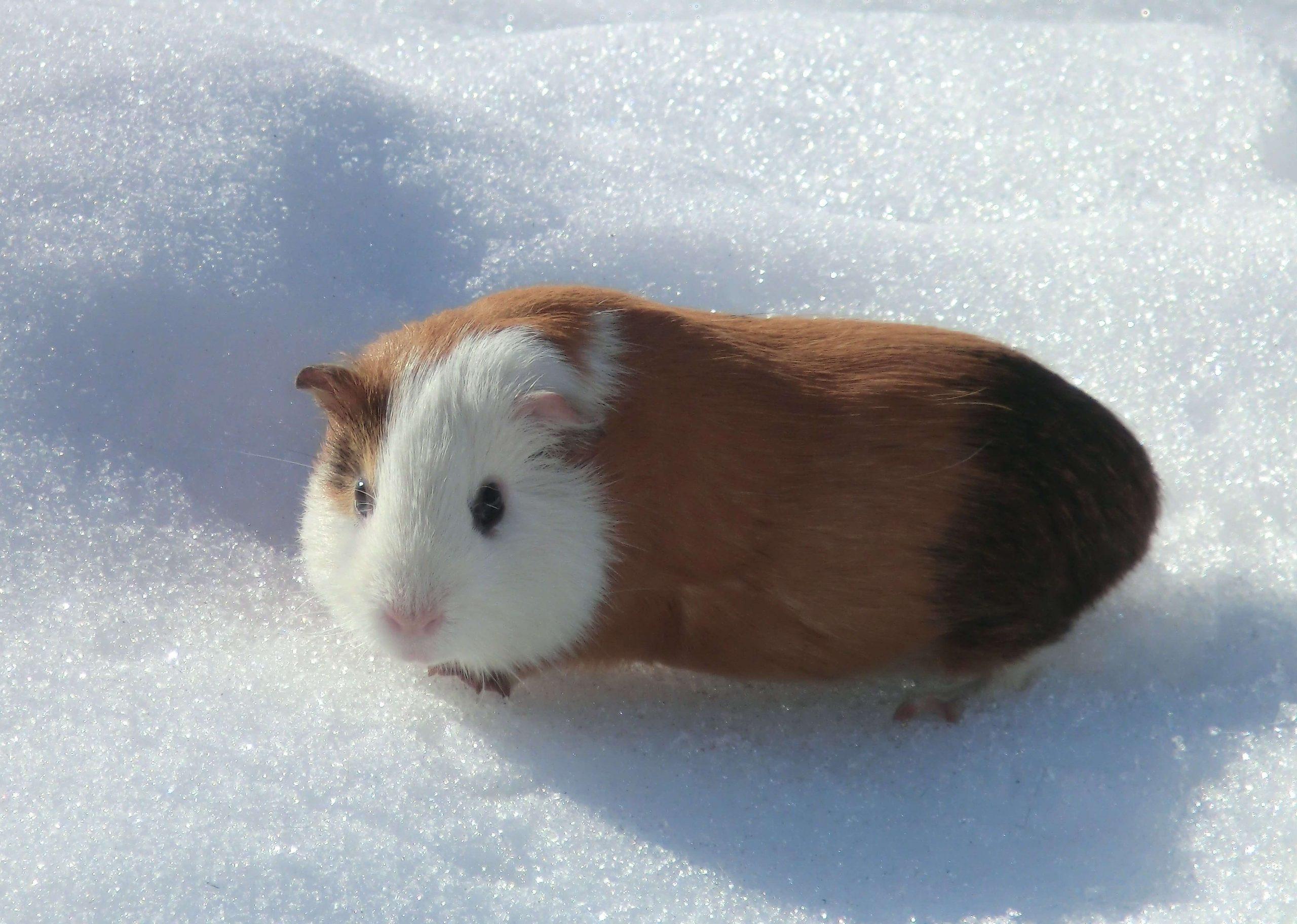 Guinea Pig 10