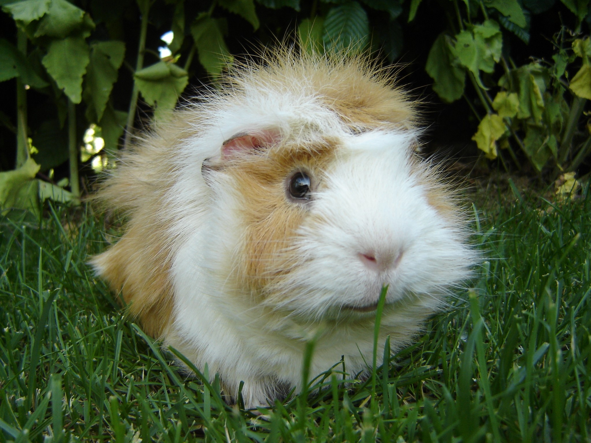 Guinea Pig 11