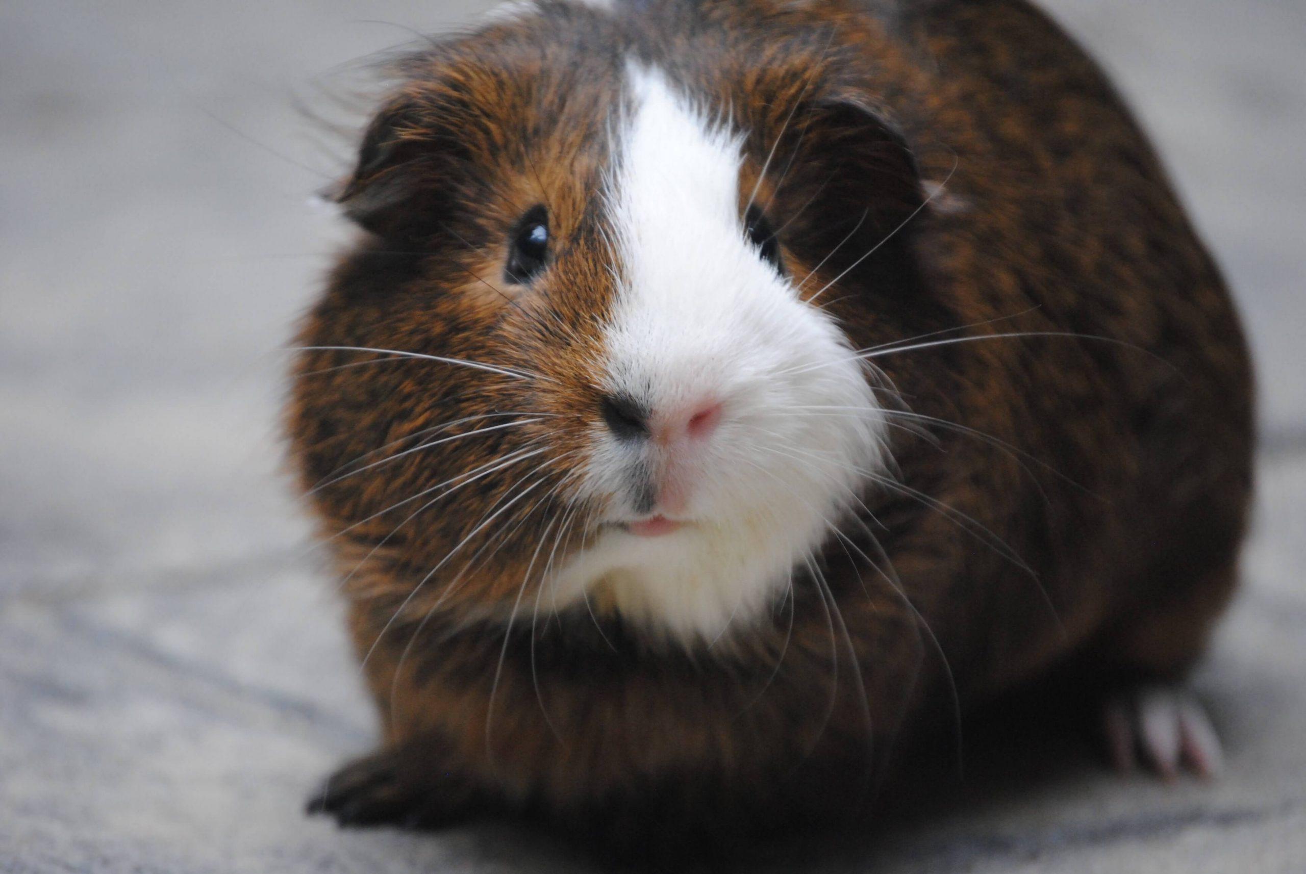 Guinea Pig 13
