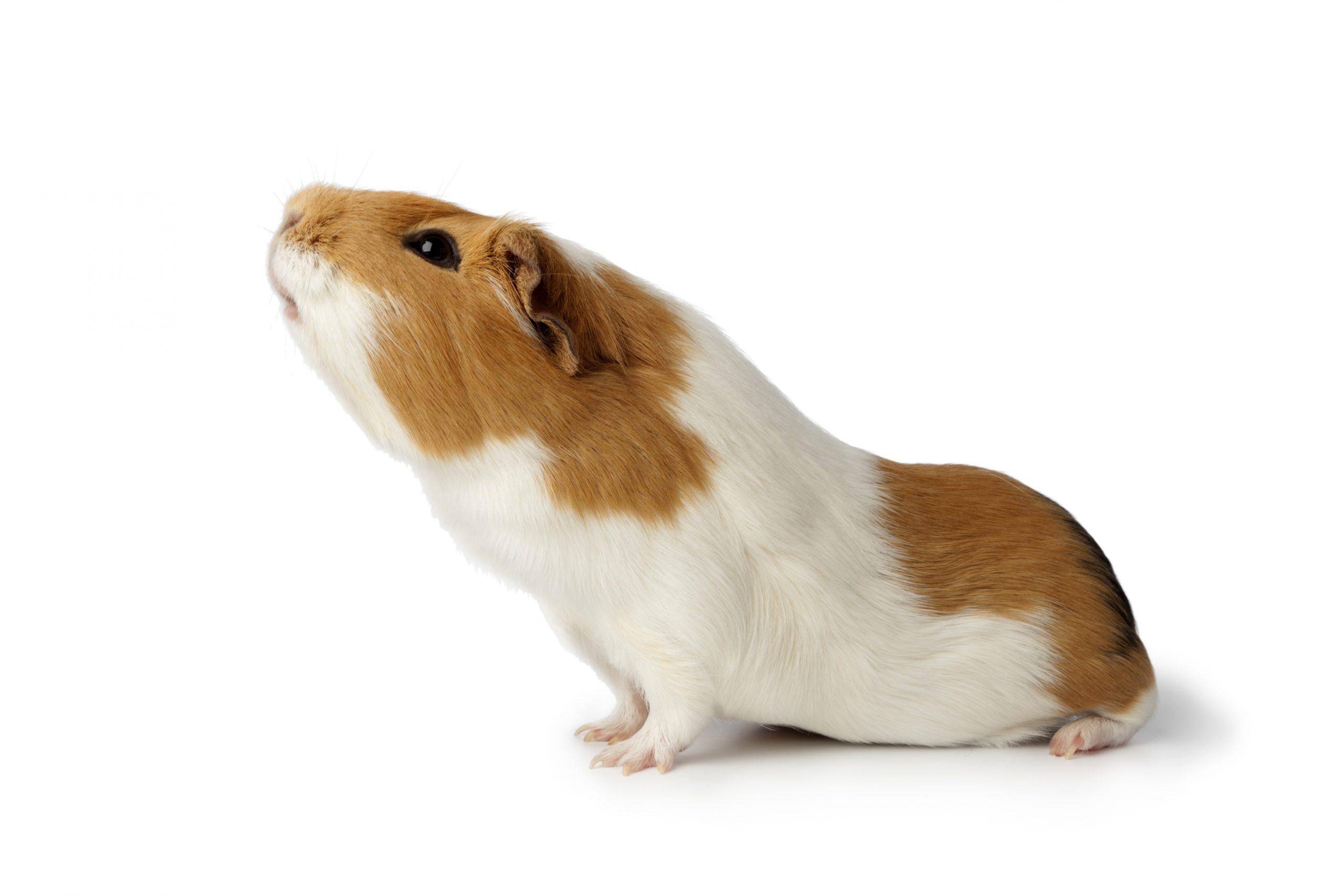 Guinea Pig 6