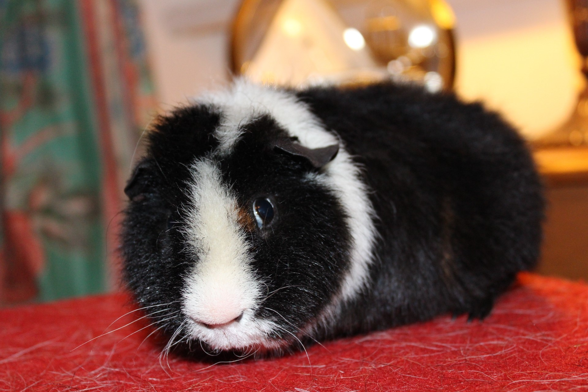 Guinea Pig 9