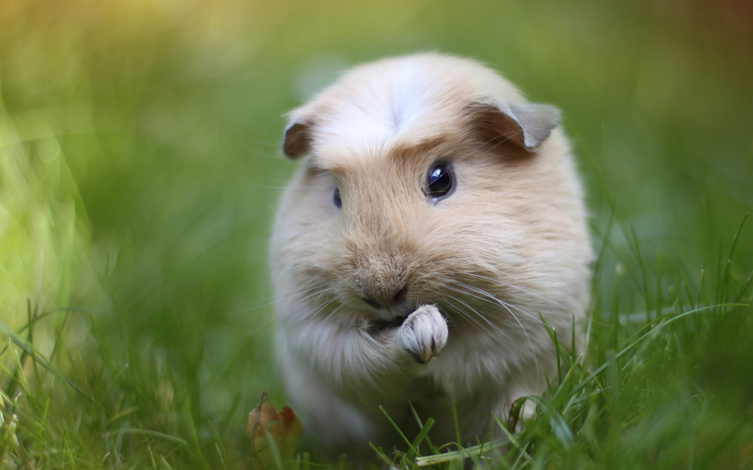 Guinea Pig Computer Wallpapers