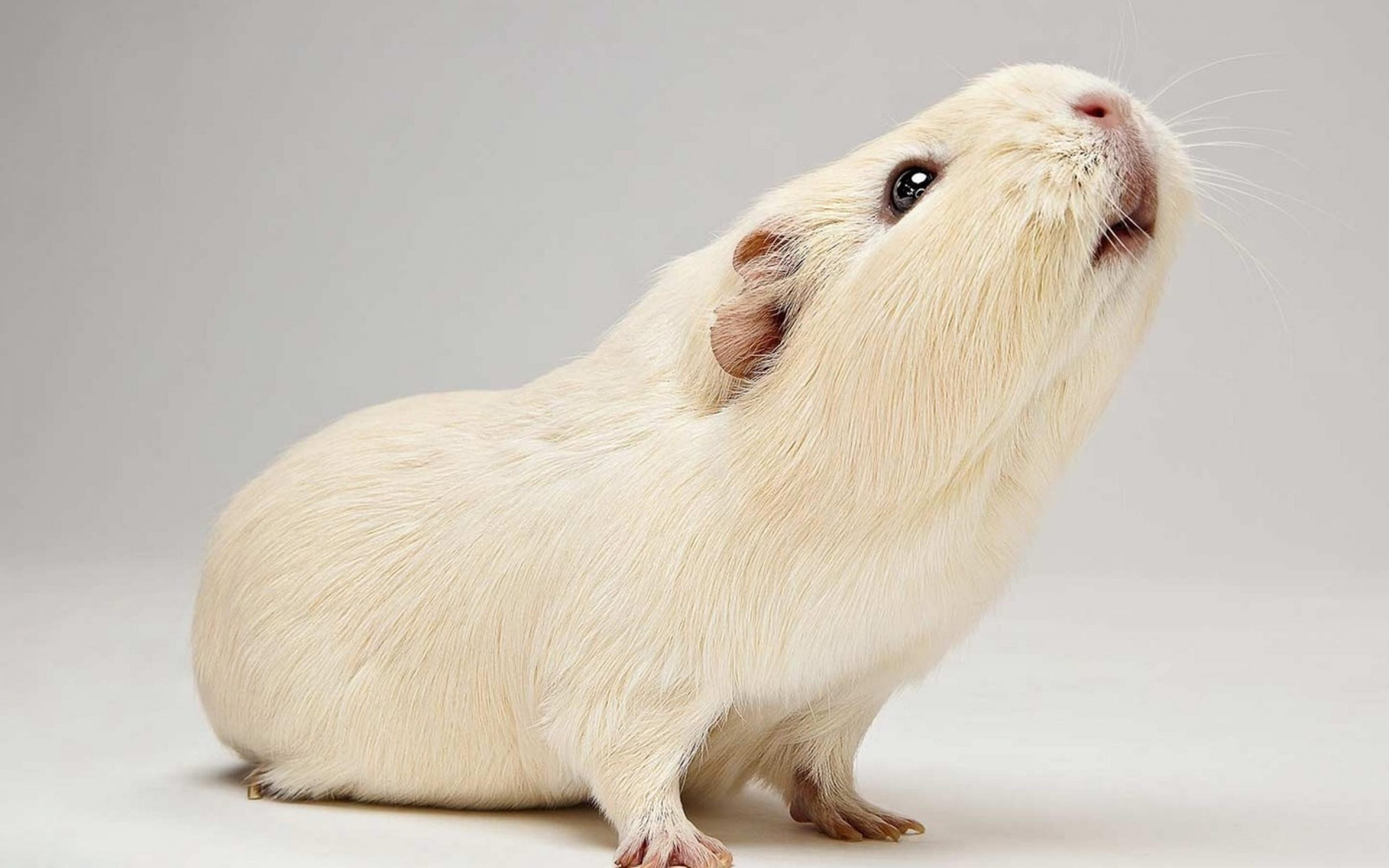 Guinea Pig Wallpapers for Laptop scaled