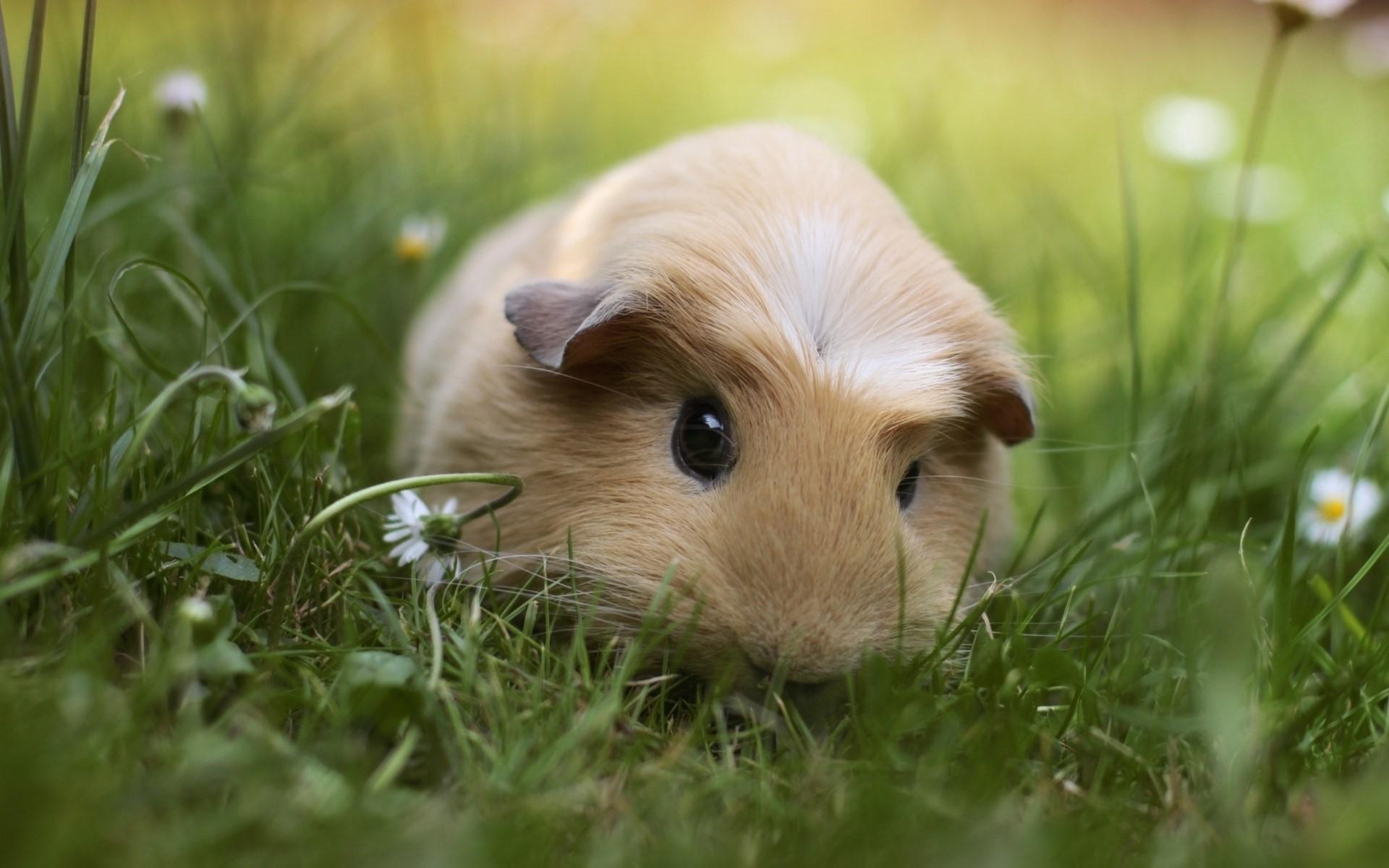 Guinea Pig images