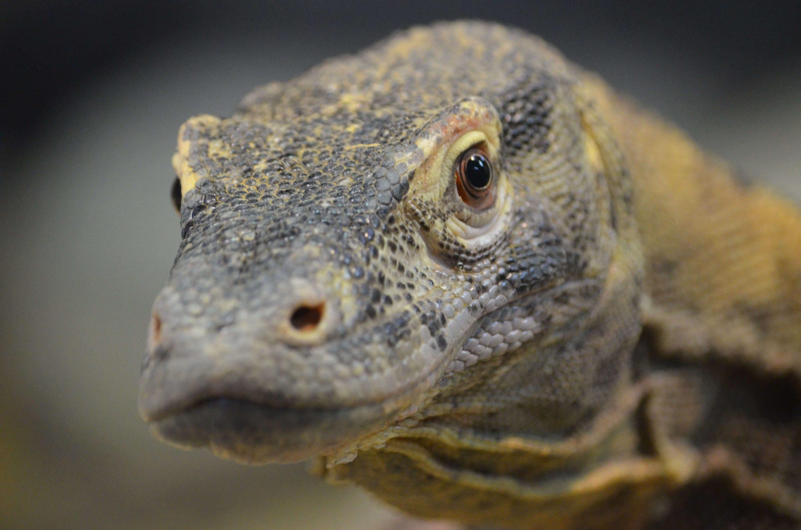 Komodo Dragon 12