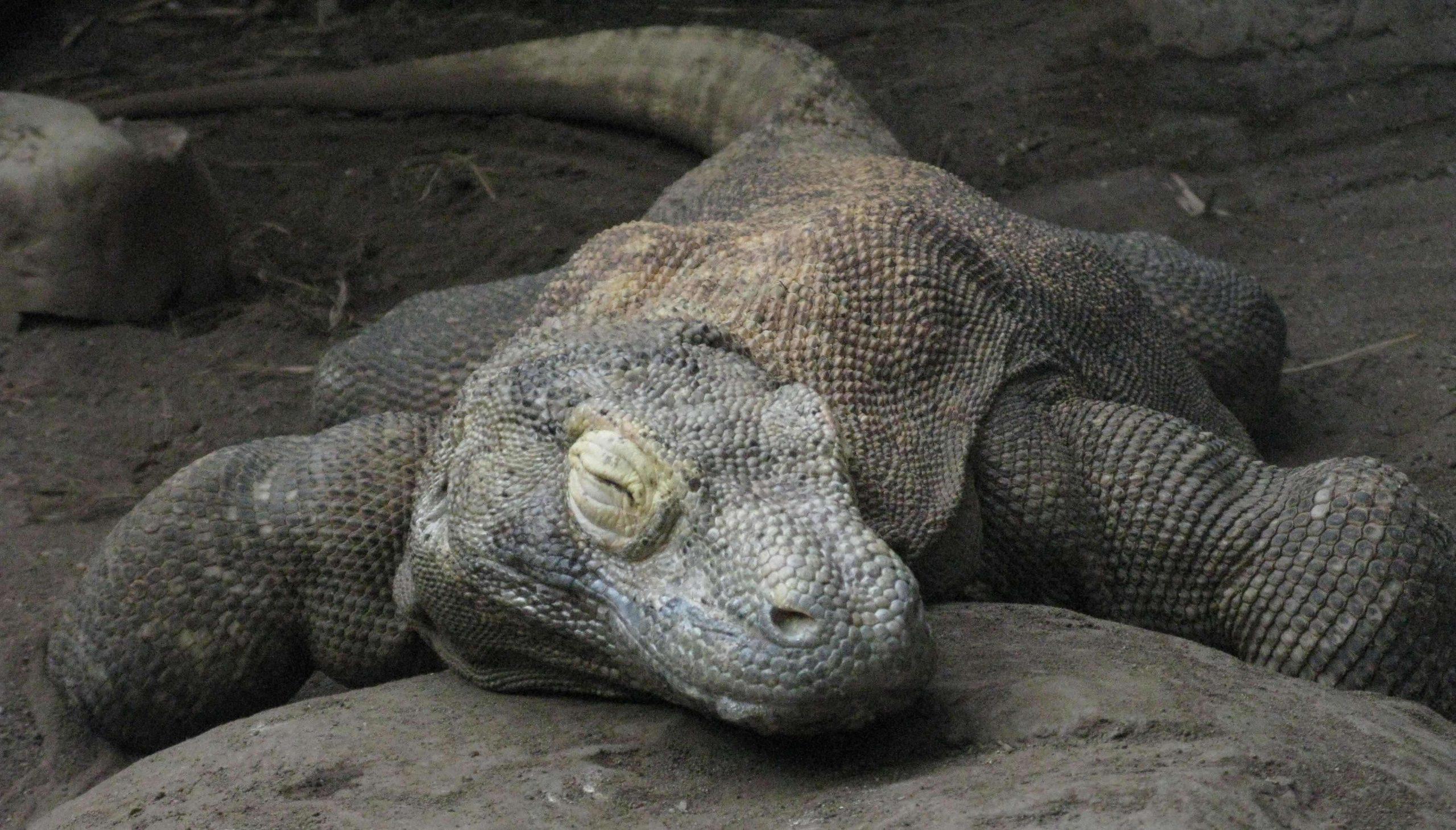 Komodo Dragon 13