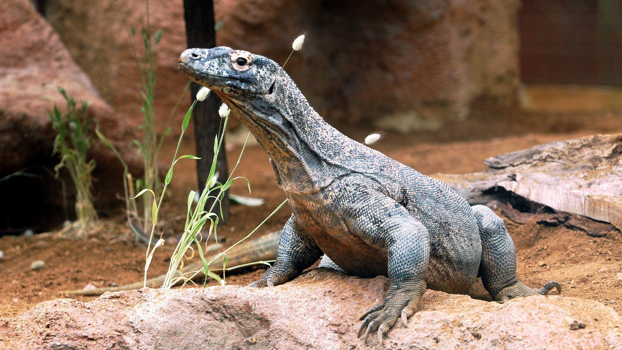 Komodo Dragon 16