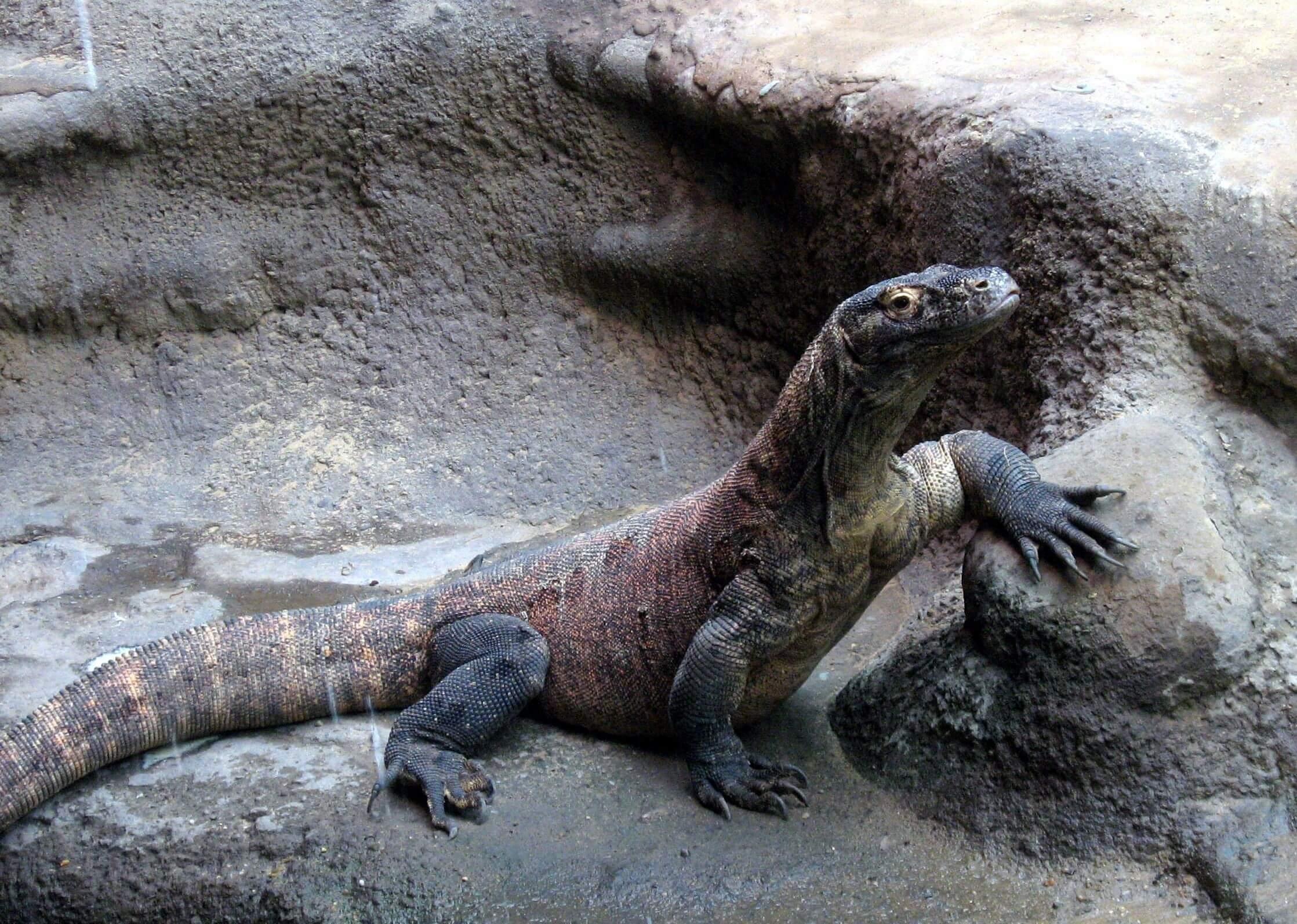 Komodo Dragon 18