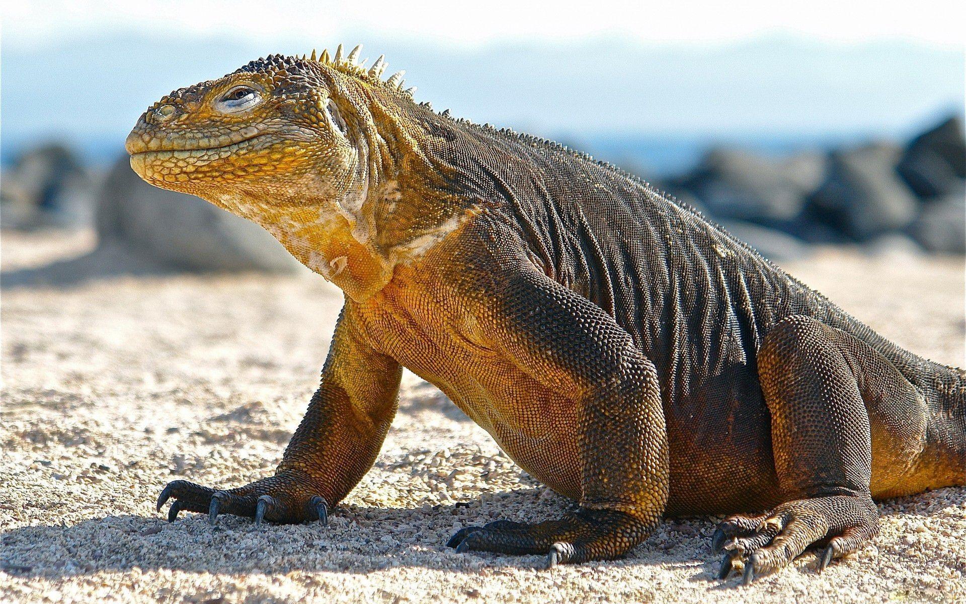 Komodo Dragon 19