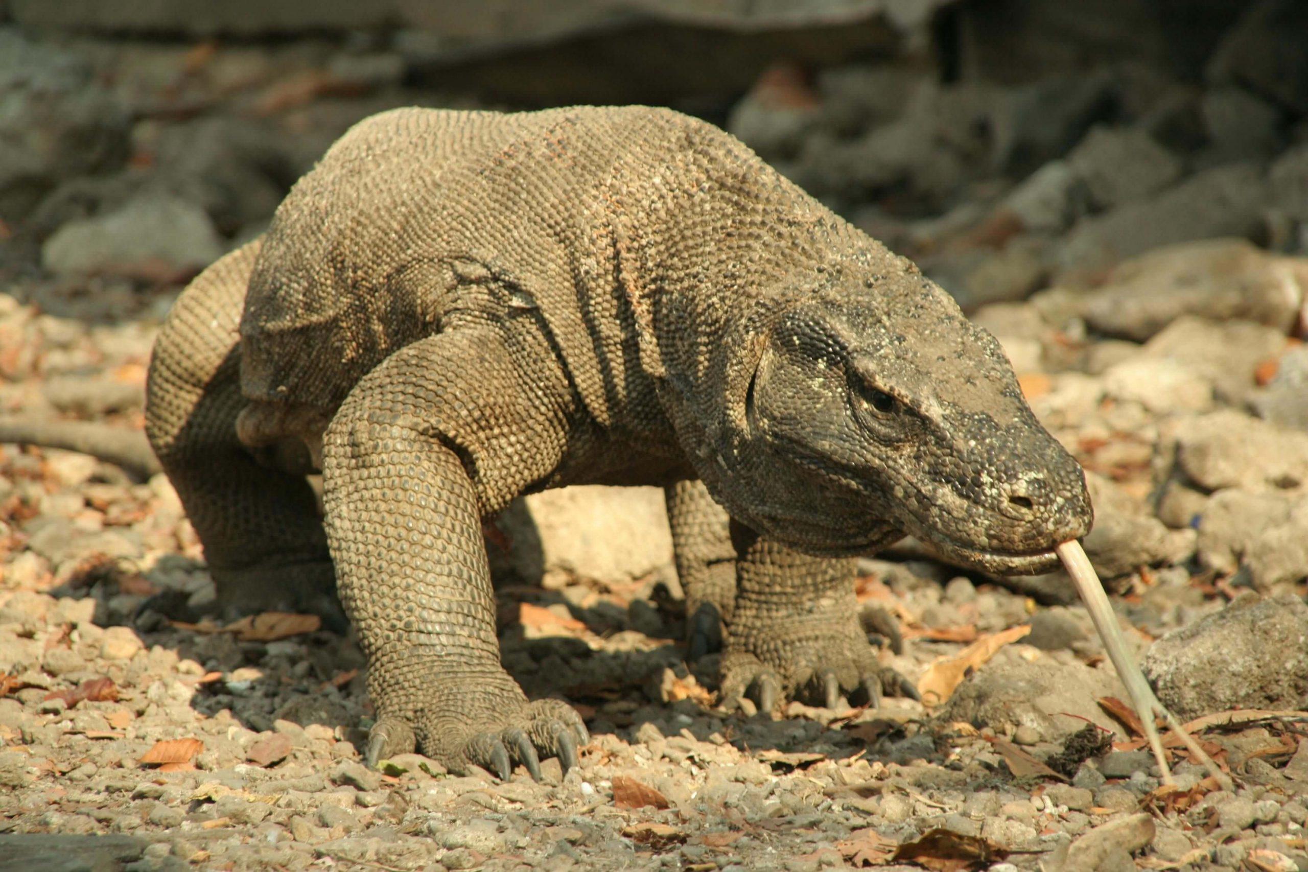 Komodo Dragon 20