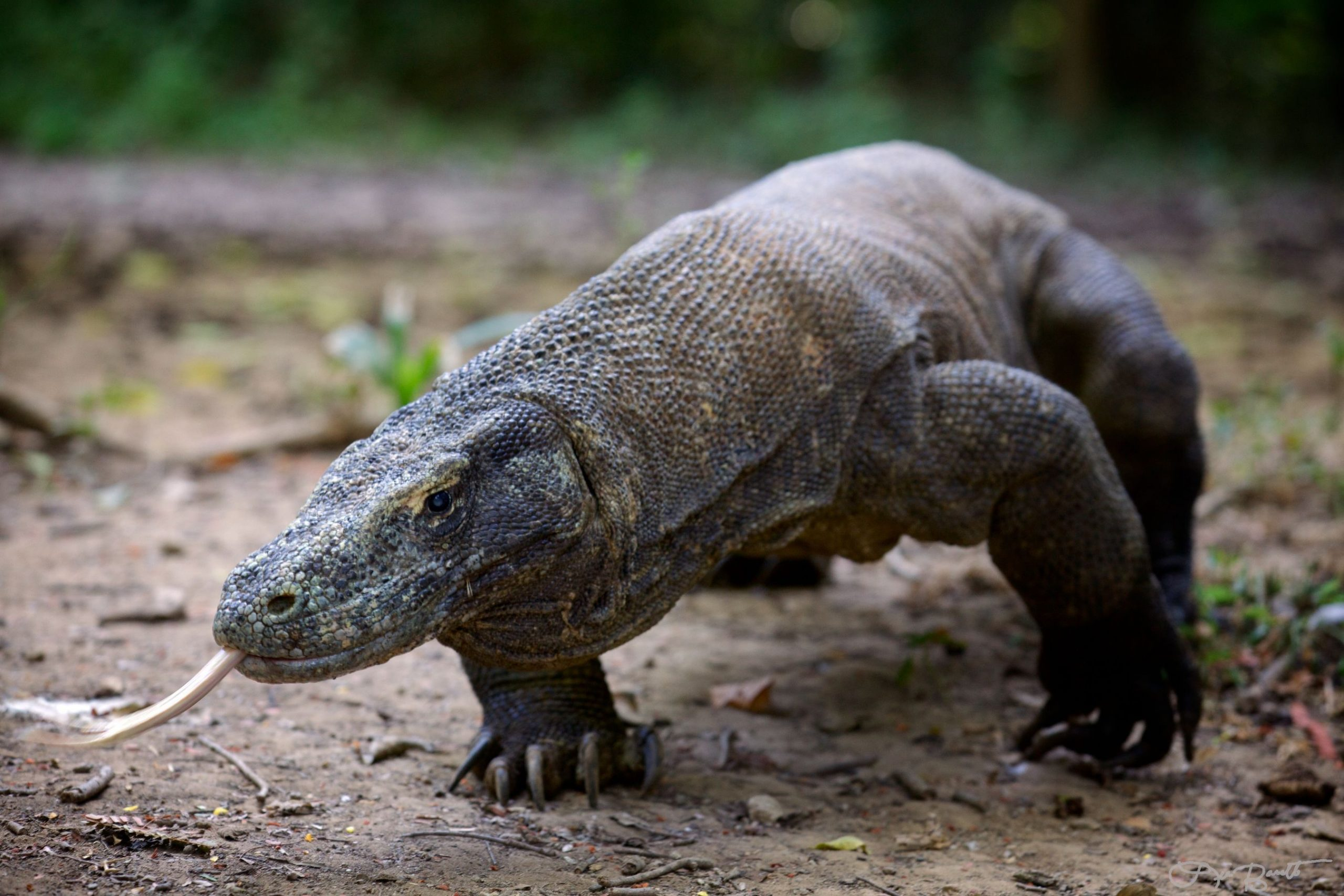 Komodo Dragon 4