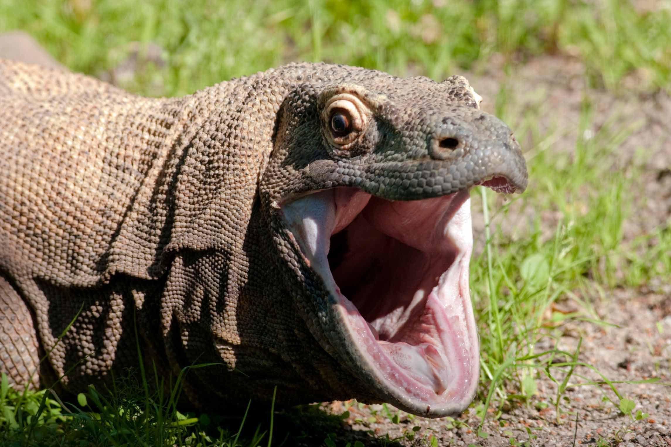 Komodo Dragon Pictures