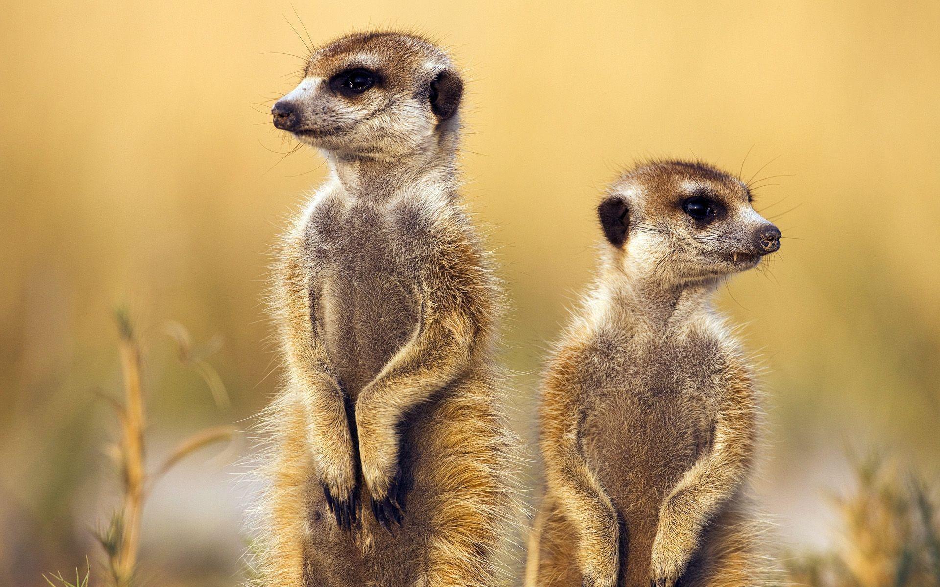 Meerkat 10