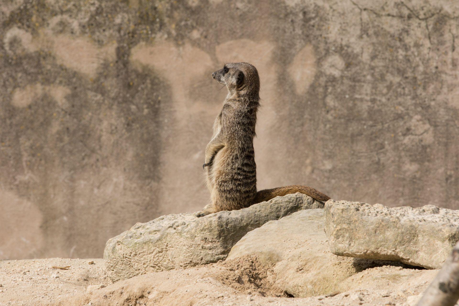 Meerkat 11