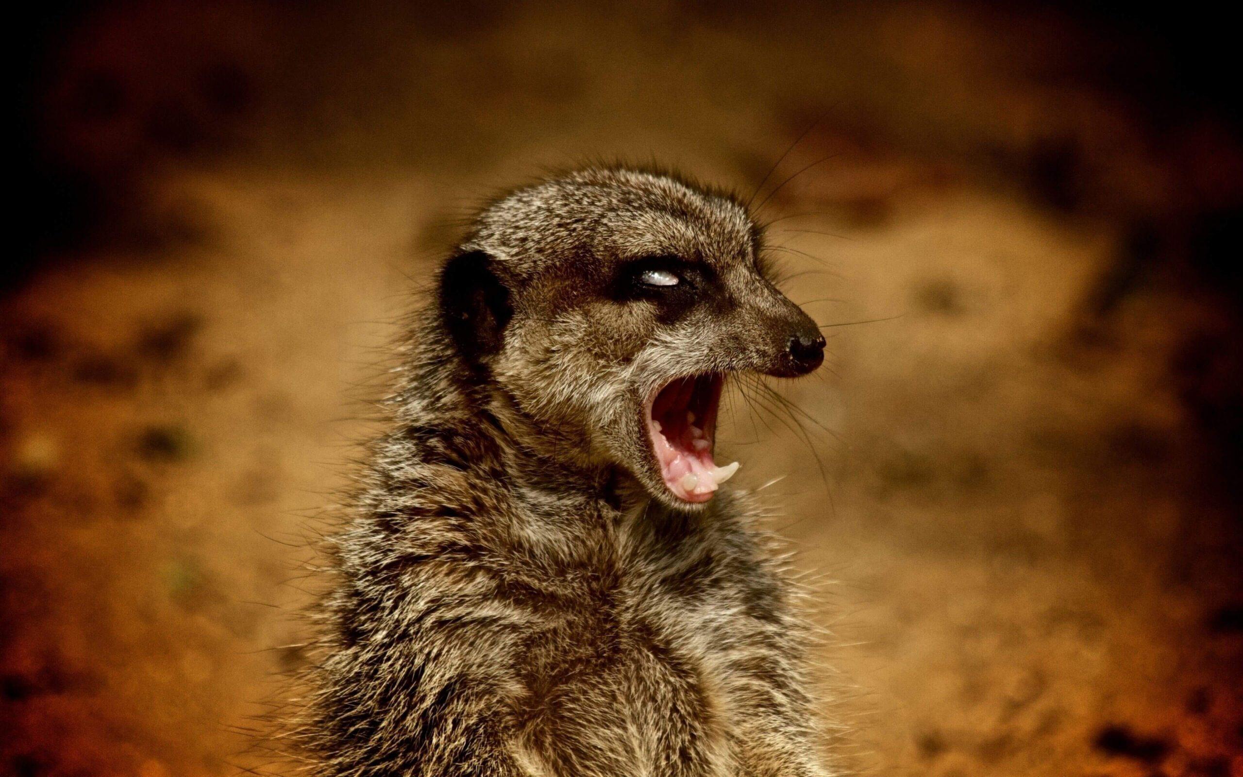 Meerkat 12