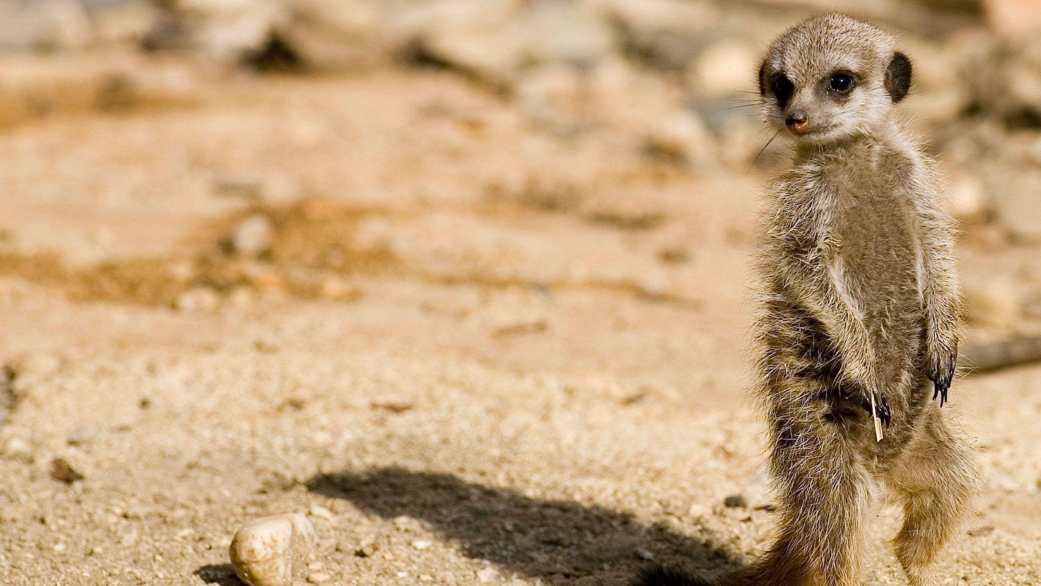 Meerkat 13
