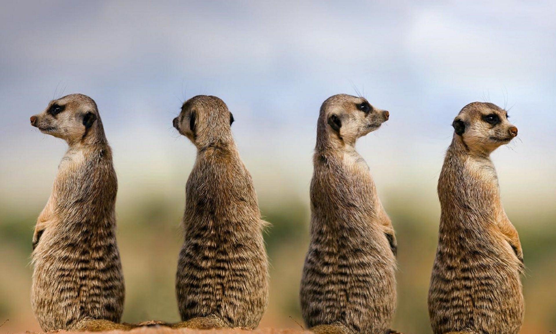Meerkat 15