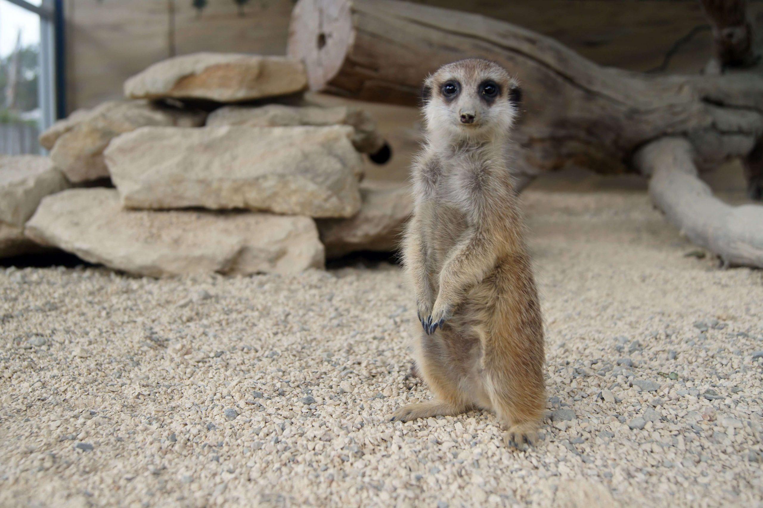 Meerkat 17 scaled