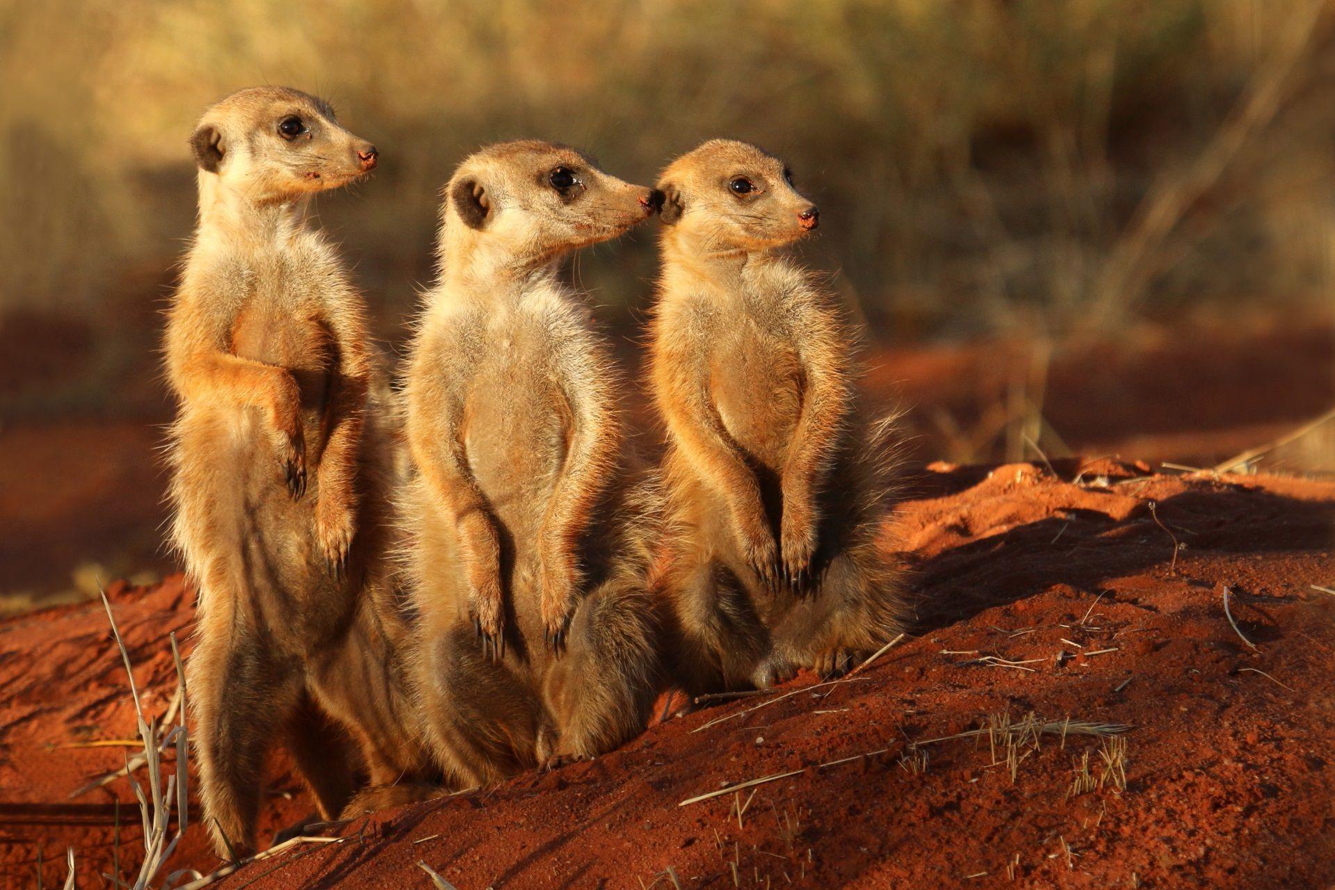 Meerkat 18