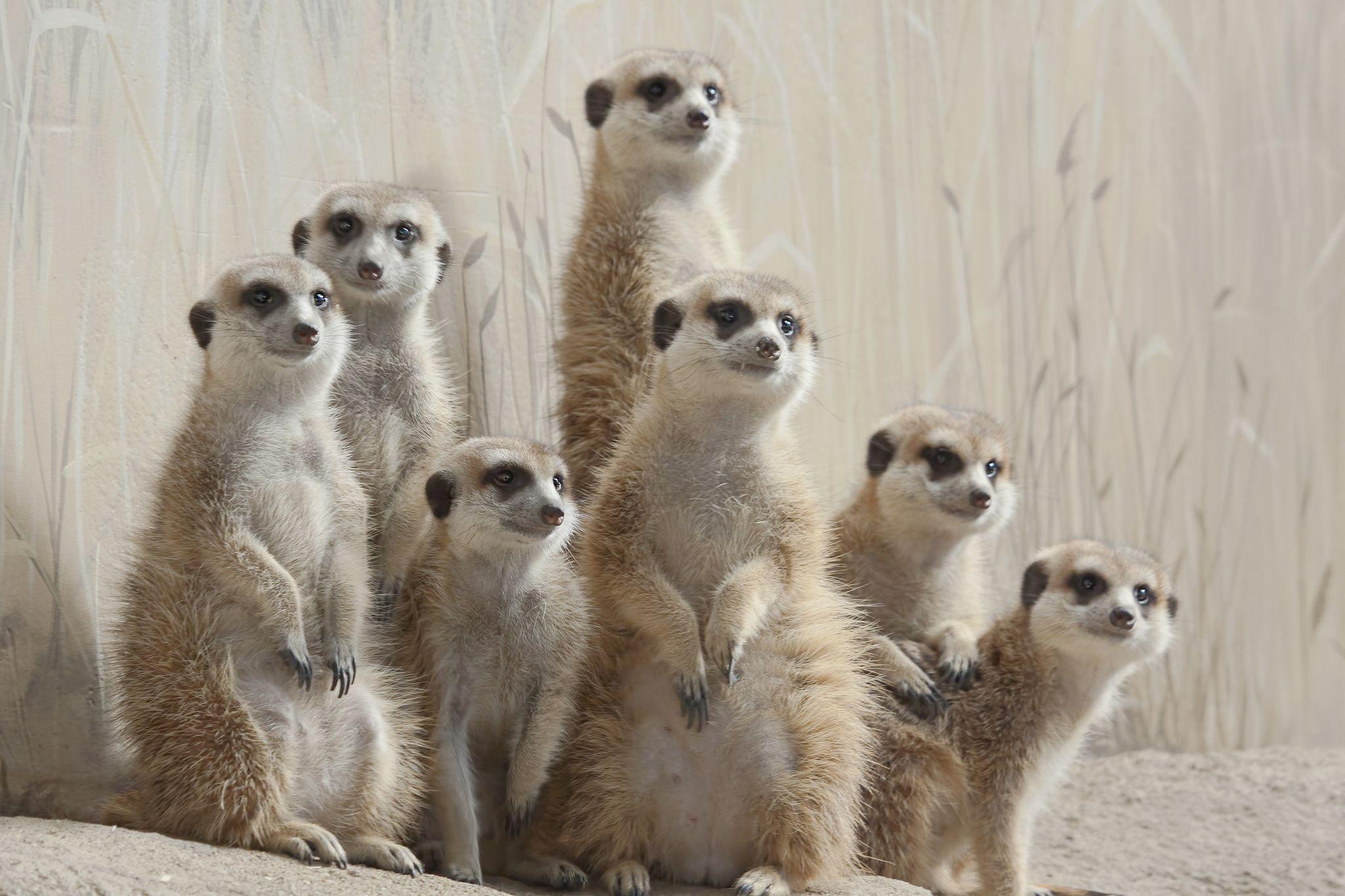 Meerkat 7