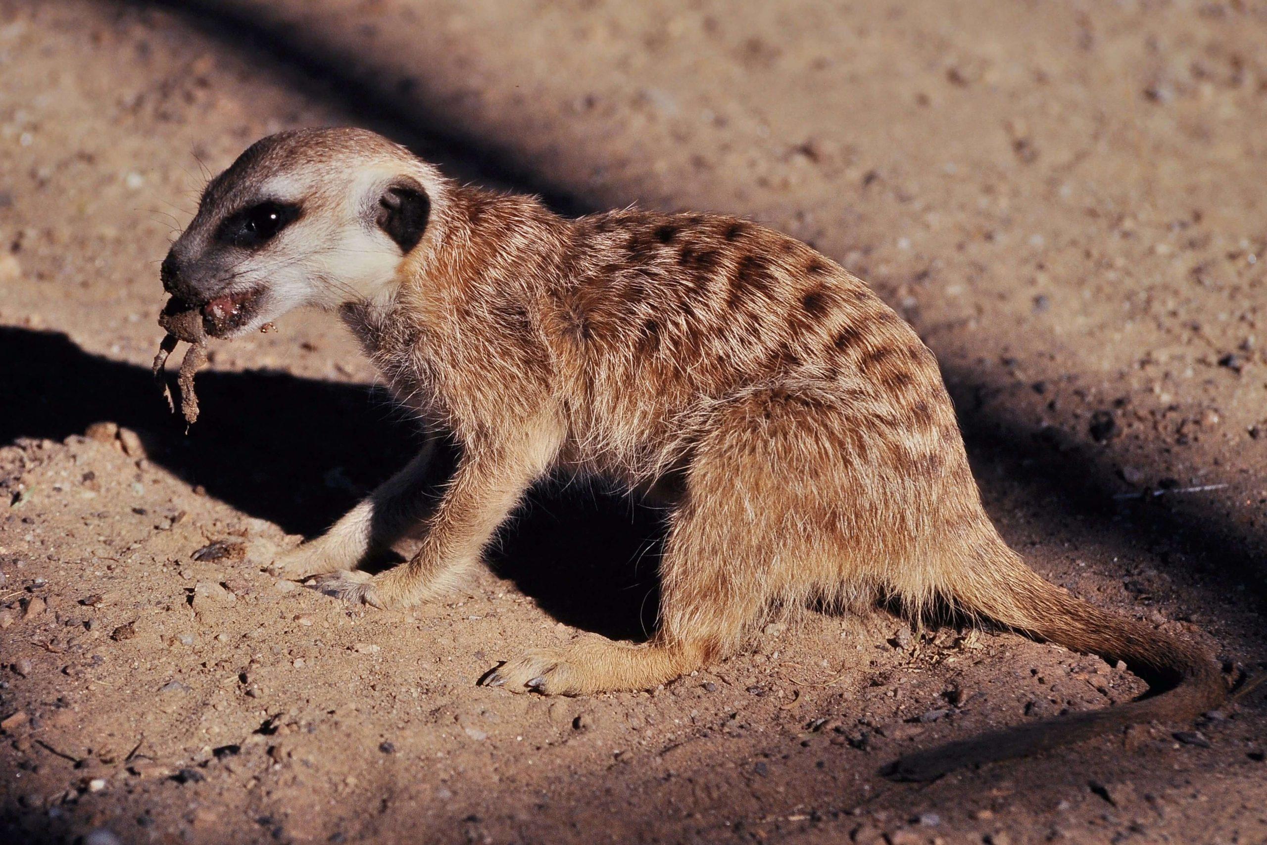 Meerkat 9
