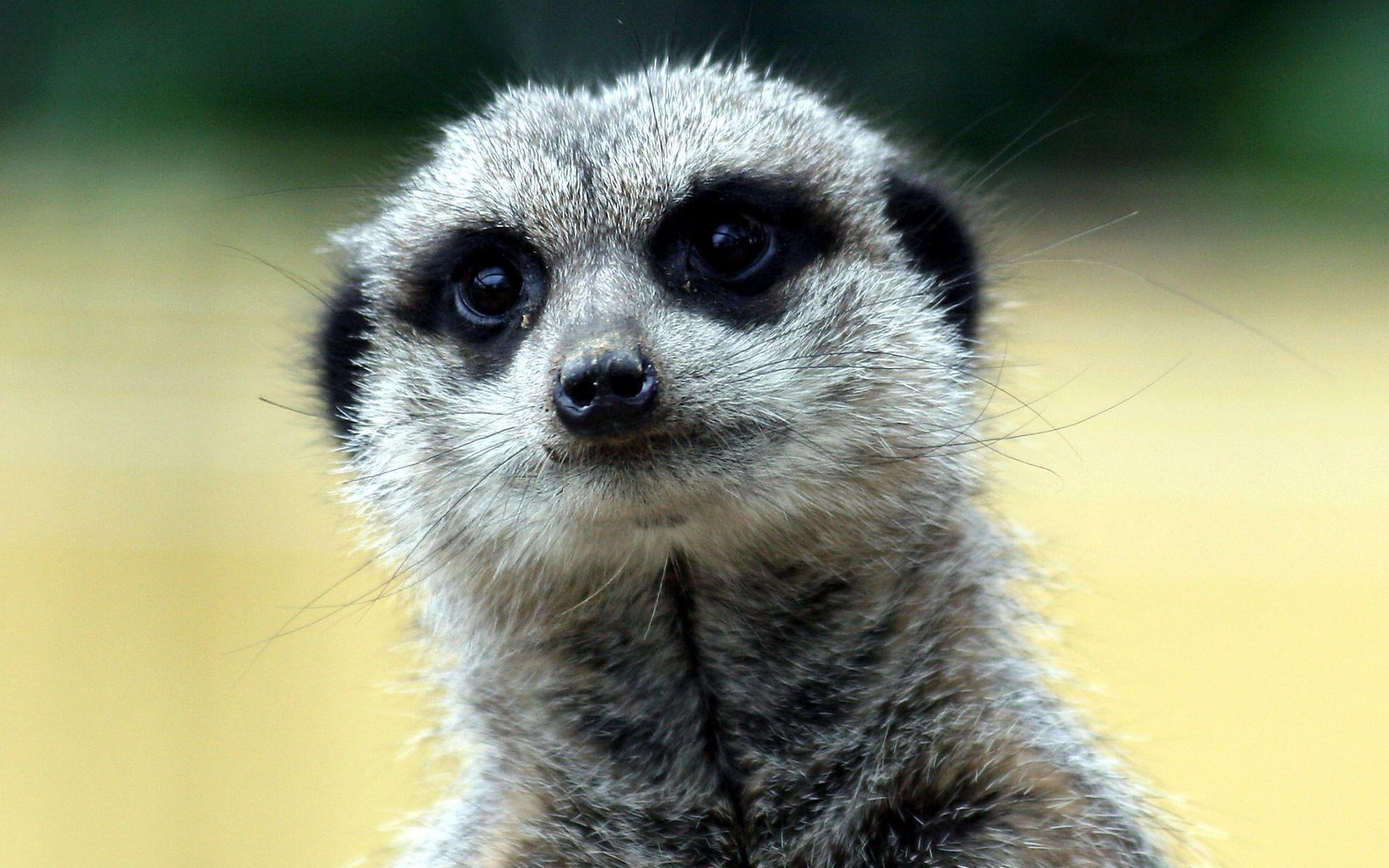 Meerkat Background images