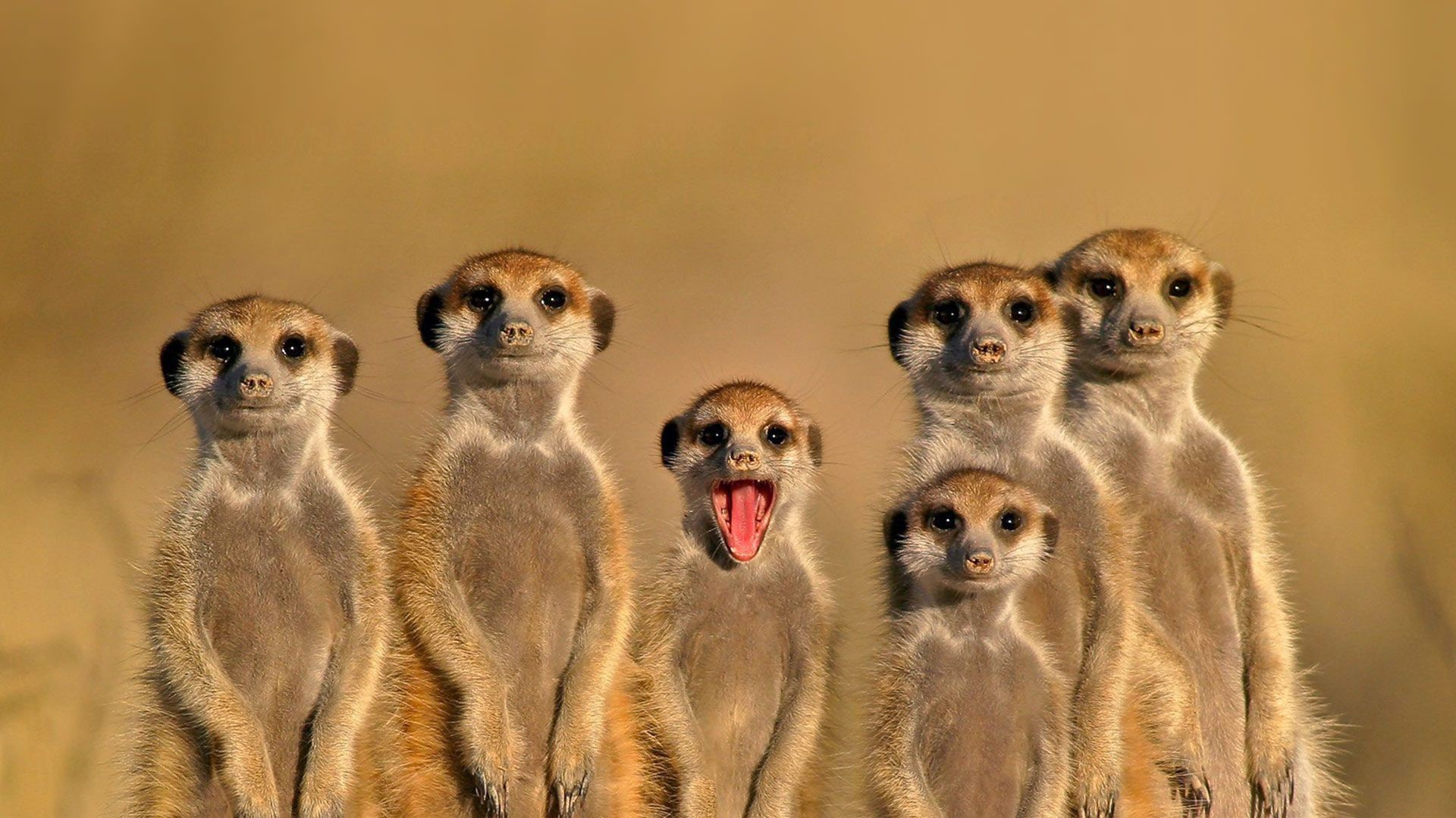 Meerkat HD