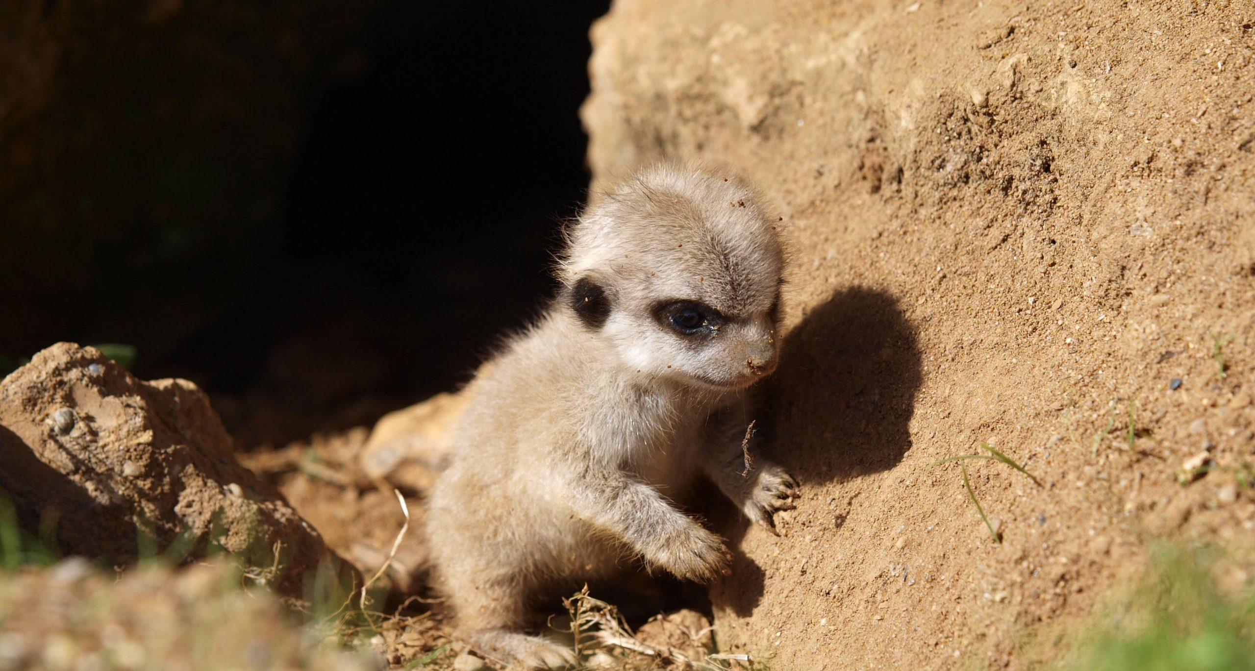 Meerkat Wallpapers 4