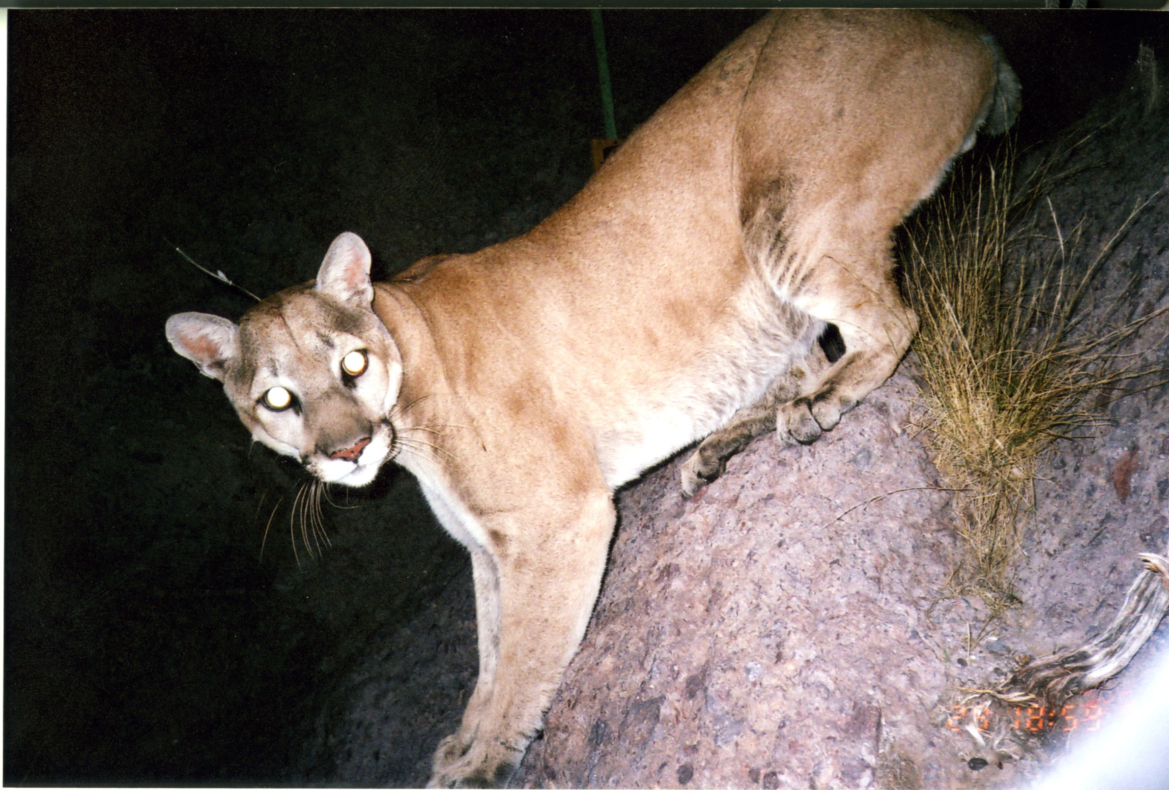 Mountain Lion Computer Wallpapers