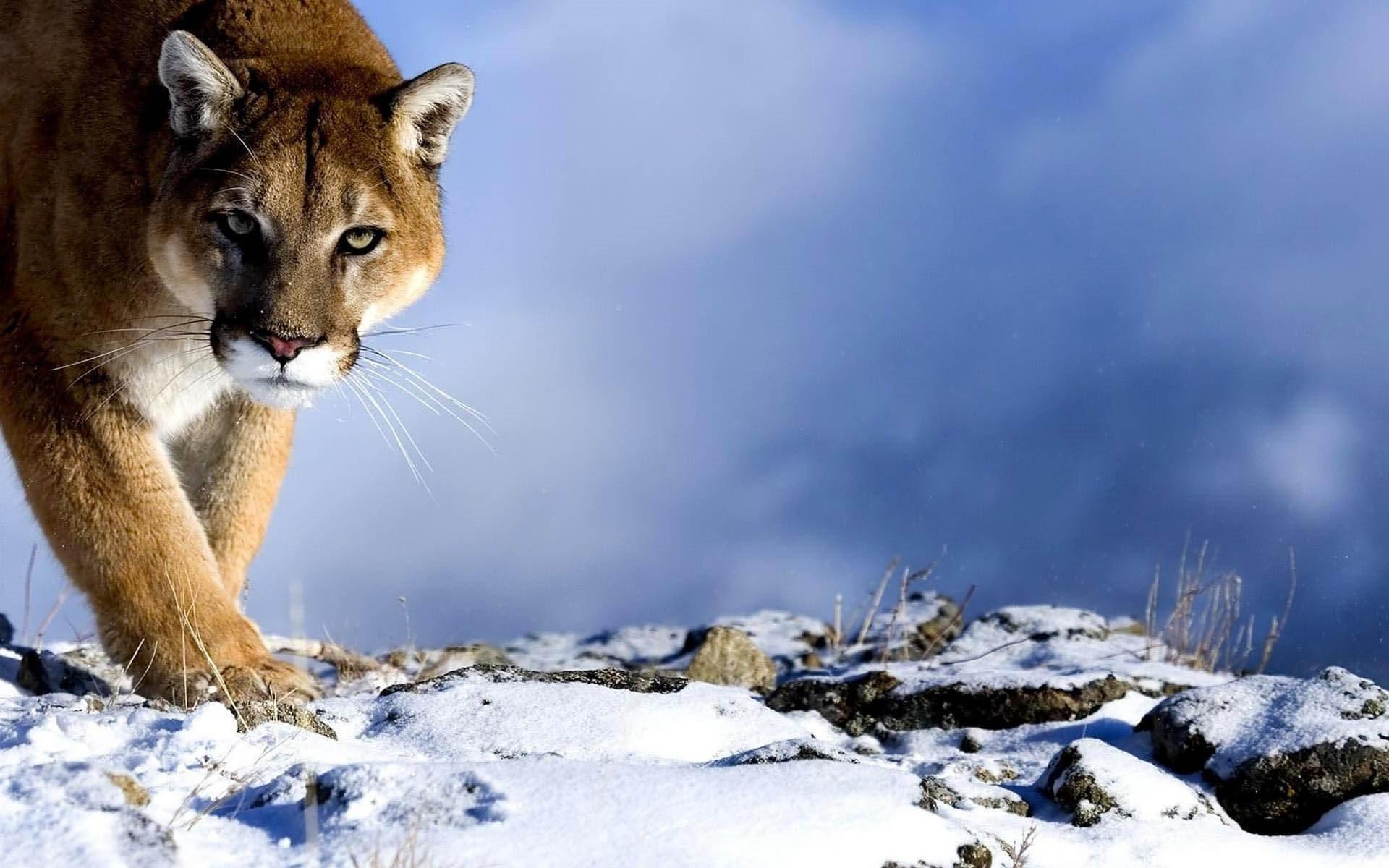 Mountain Lion High Definition