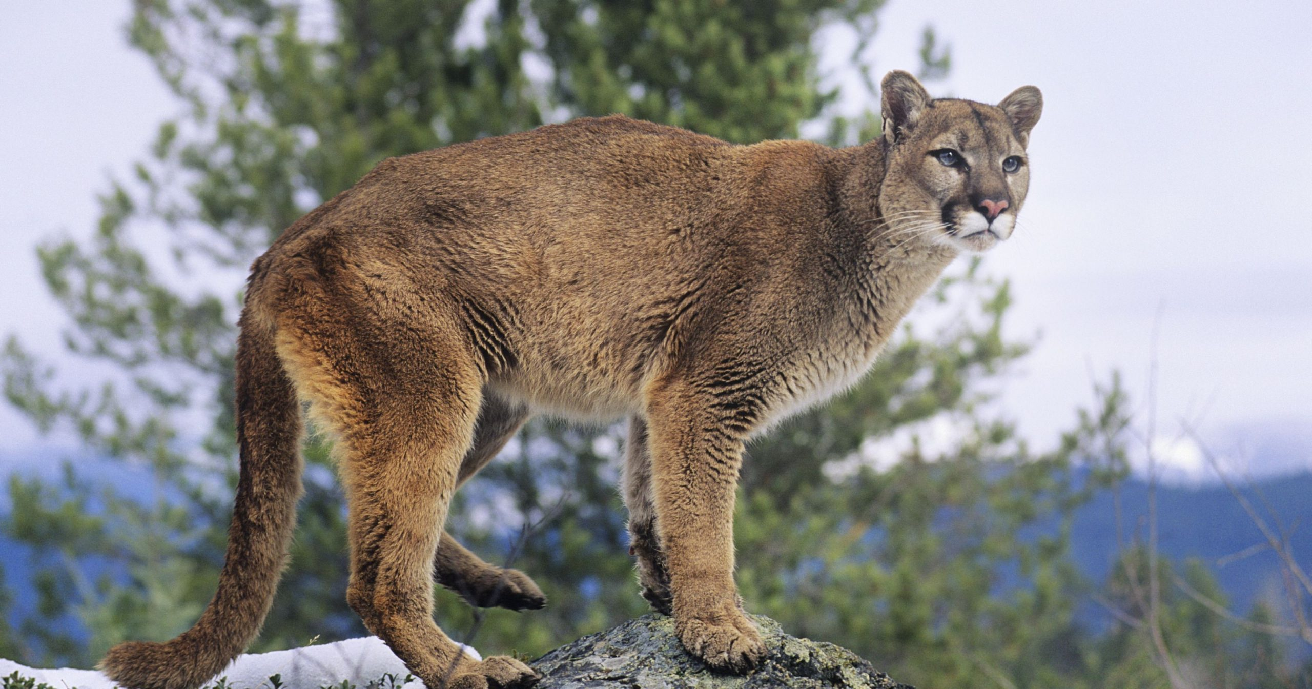 Mountain Lion Photos