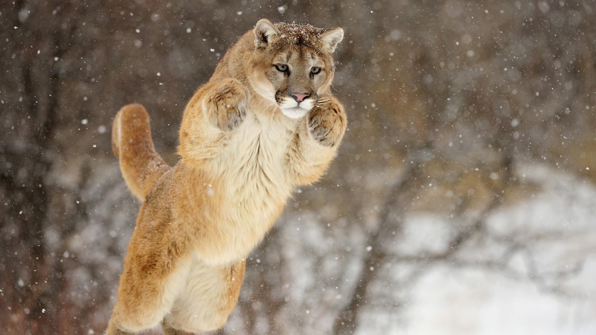 Mountain Lion Pics