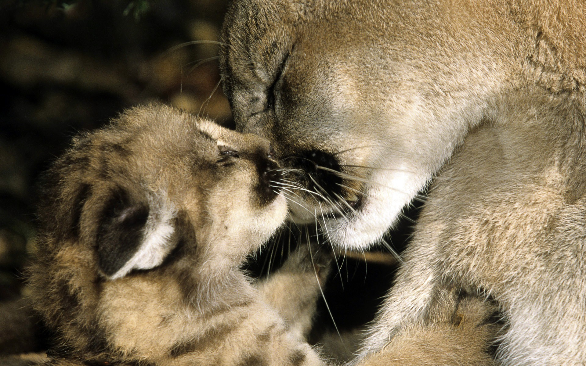 Pictures of Mountain Lion